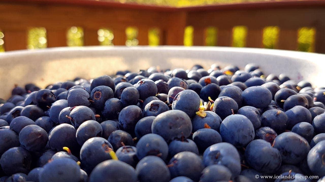icelandcloseup.com wild blueberries close-up