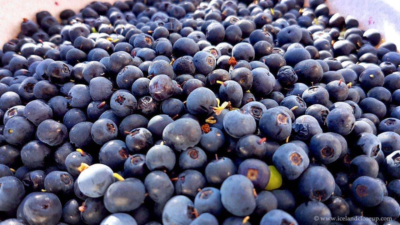 icelandcloseup.com wild blueberries close-up