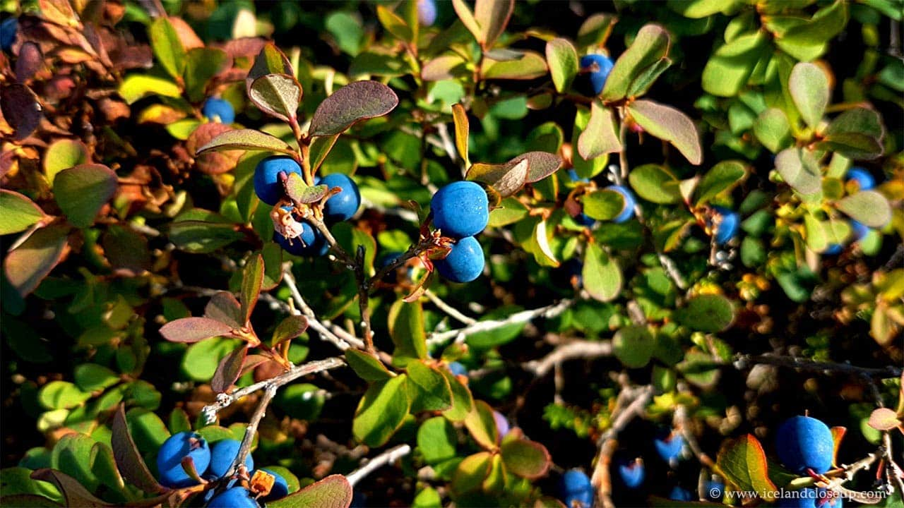 icelandcloseup.com wild blueberries closeup
