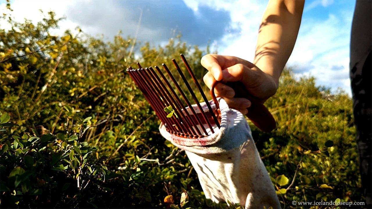 icelandcloseup.com berry picker closeup