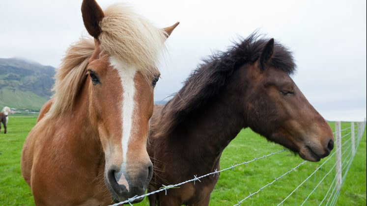 Fridheimar-icelandic-horses