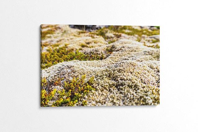 Natural Icelandic Moss Canvas Print