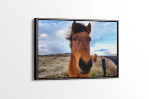 Beautiful Icelandic Horse Canvas Print