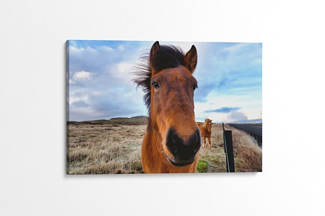 Beautiful Icelandic Horse Canvas Print Iceland Close Up