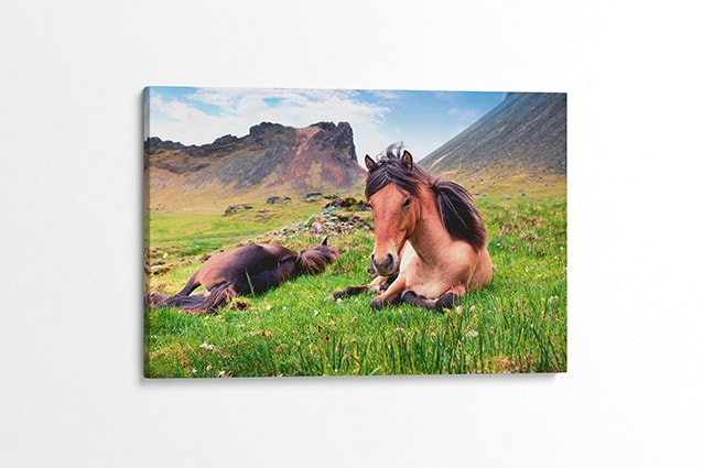 Relaxed Icelandic Horses Canvas Print